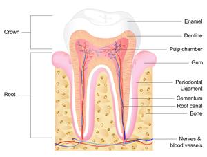 歯にはいくつもの組織がある
